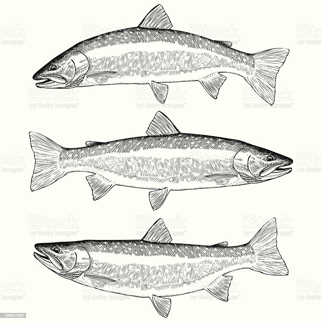 Bull Trout royalty-free stock vector art