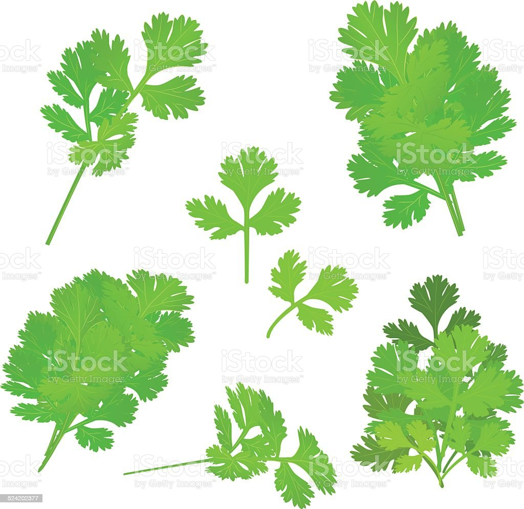 bunch fresh parsley herb isolated set vector art illustration