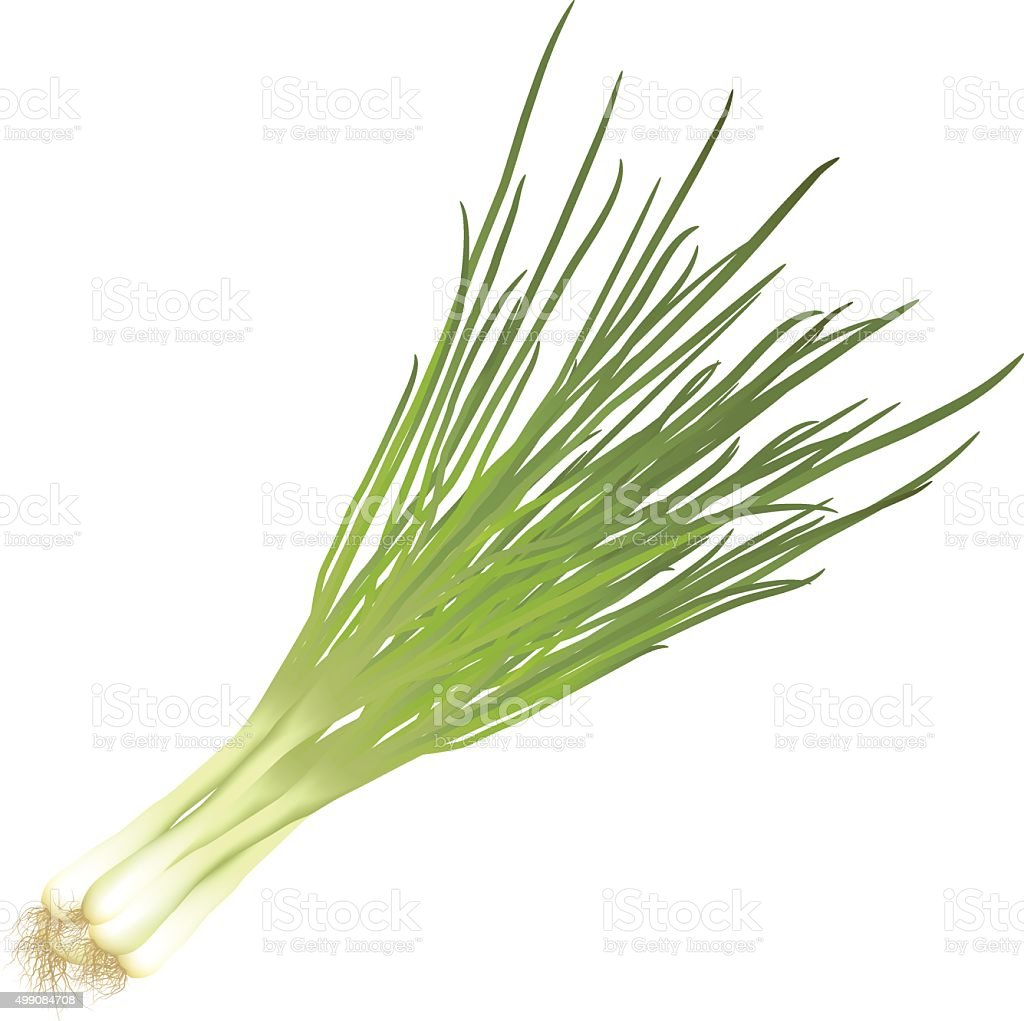 bunch green onions with roots vector art illustration