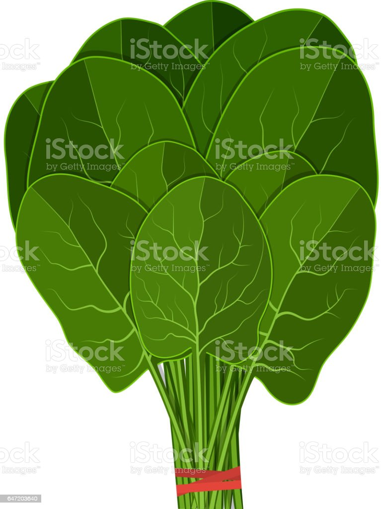 Bunch of fresh spinach close up. vector art illustration