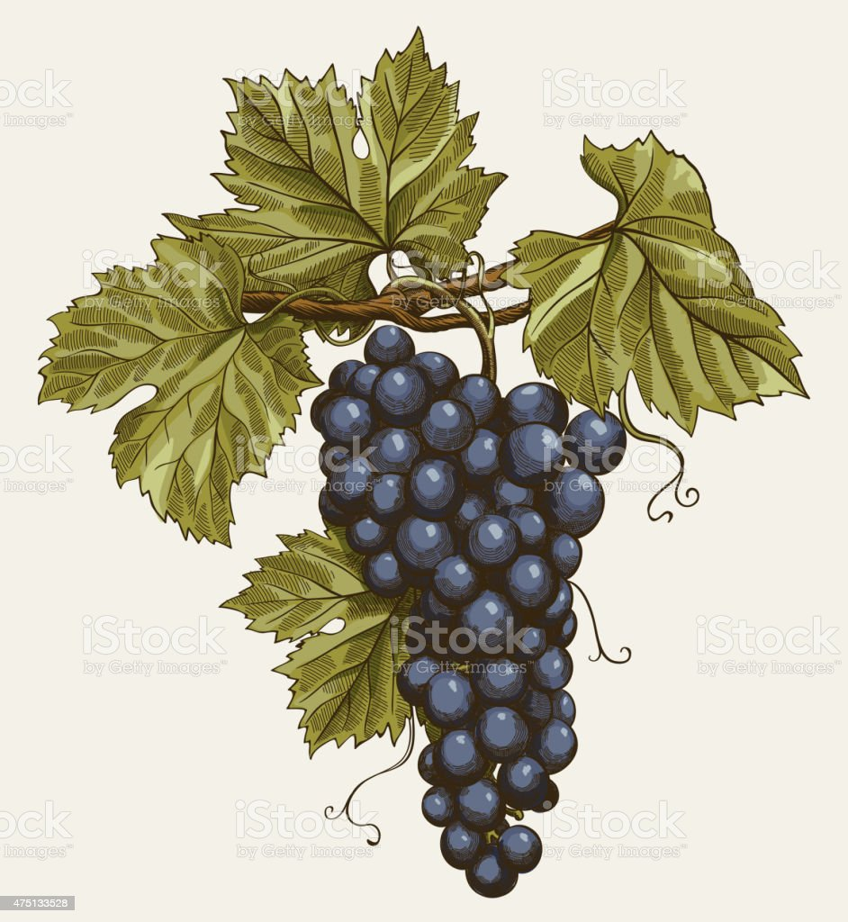 bunch of grapes vector art illustration