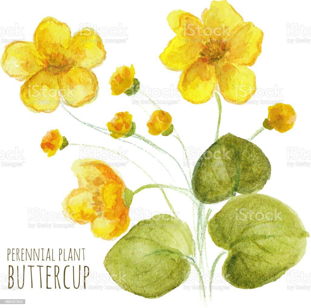 Buttercup perennial flower vector art illustration