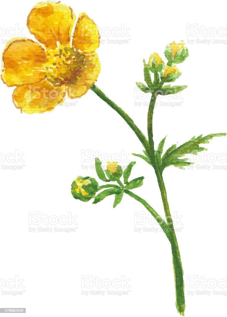 Buttercup yellow flower vector art illustration