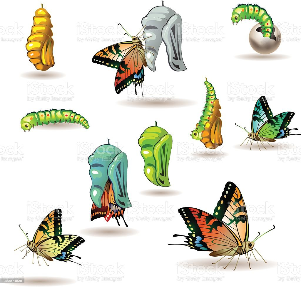 Butterfly stages vector art illustration