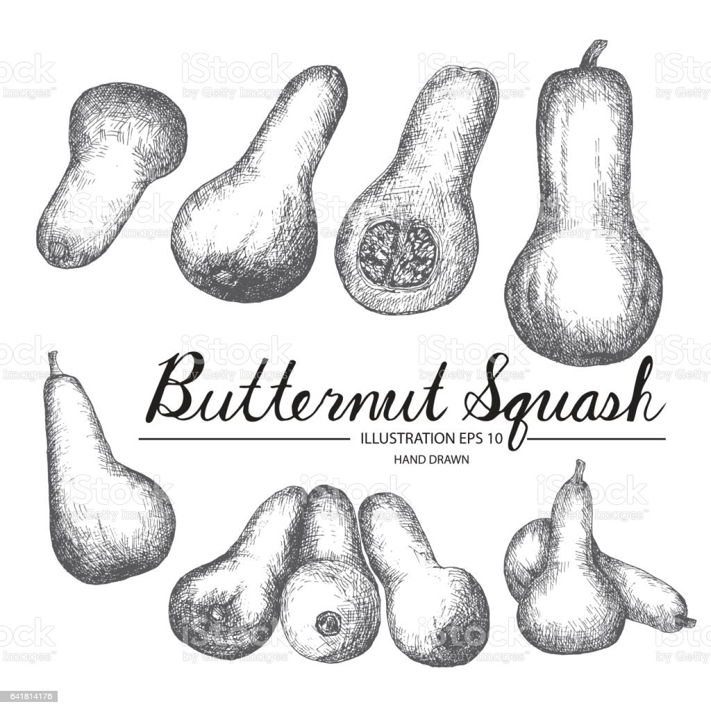 Butternut Squash hand drawn collection by ink and pen sketch. vector art illustration