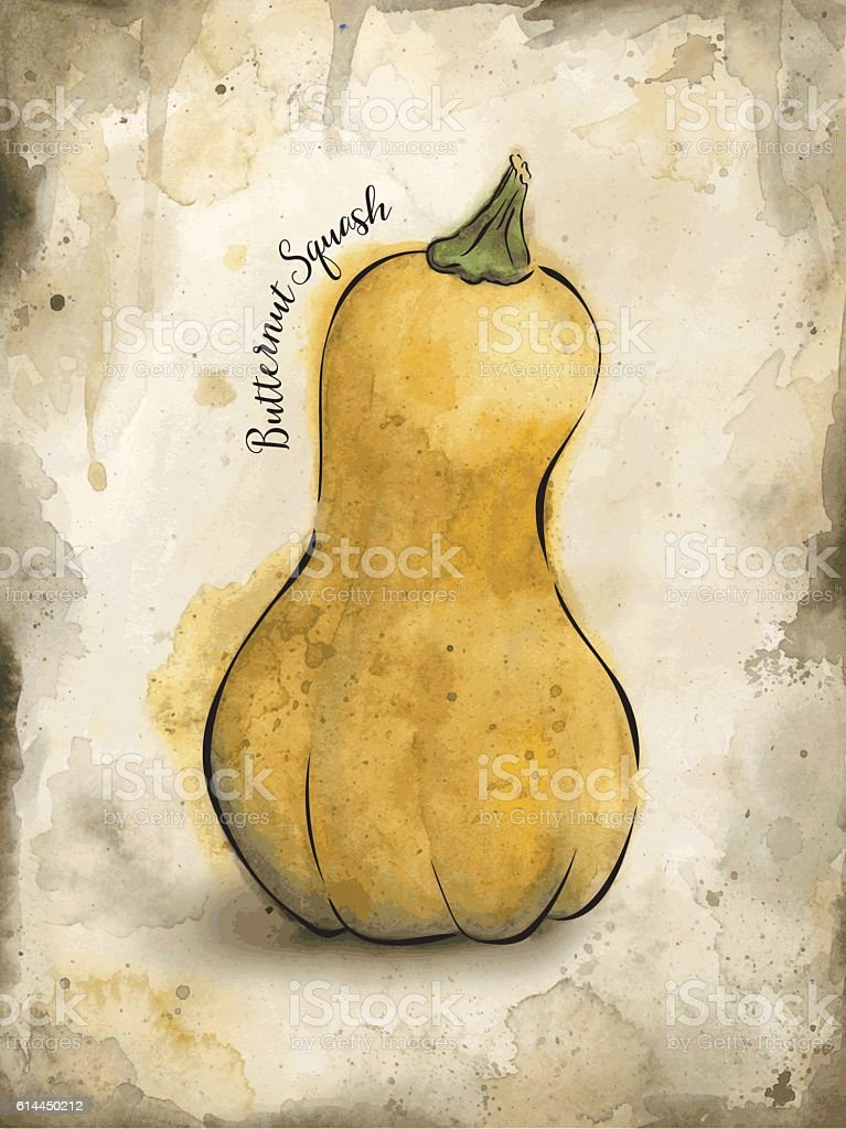 Butternut Squash Painted in Watercolor - Vector Illustration vector art illustration