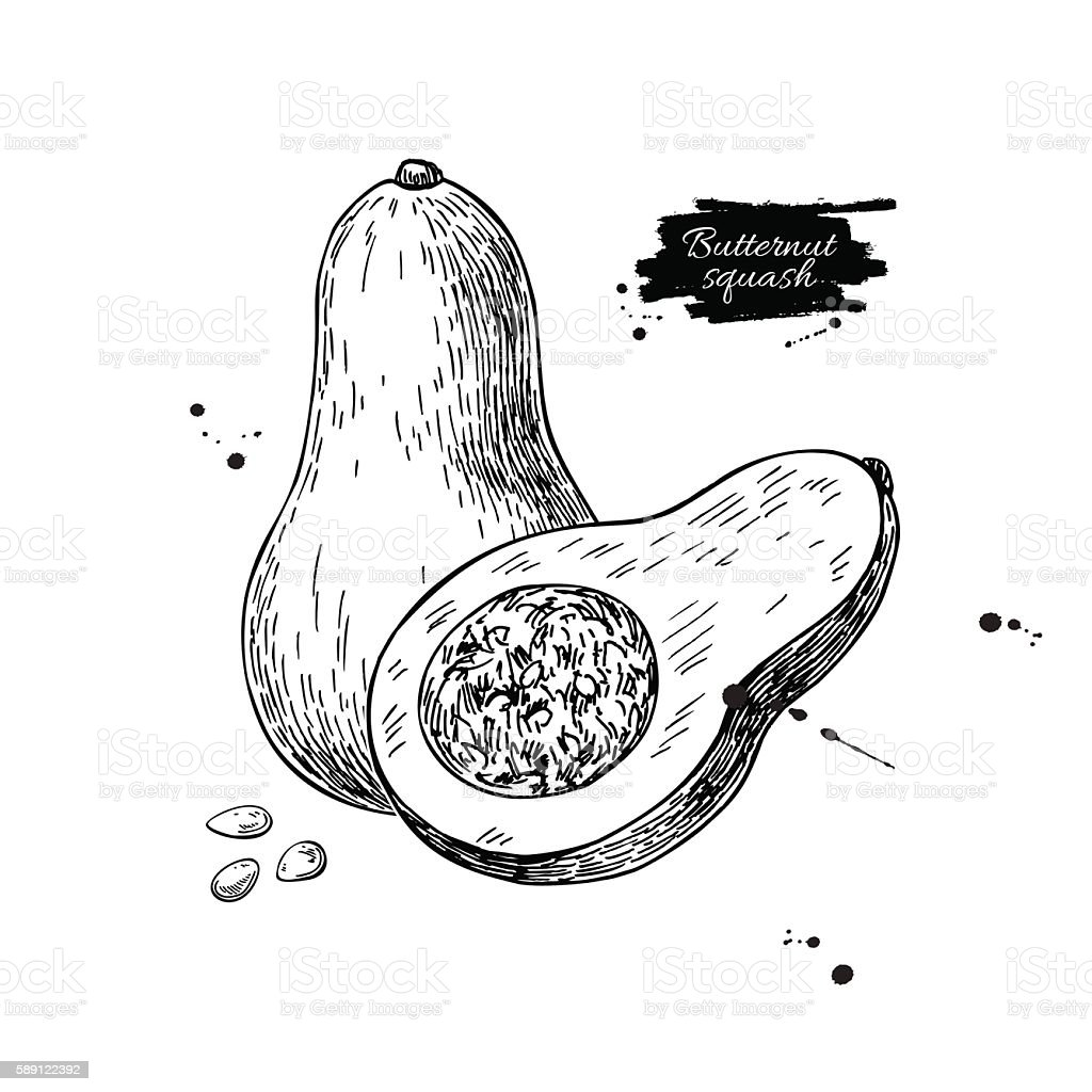Butternut squash vector drawing. Isolated vegetable with sliced vector art illustration