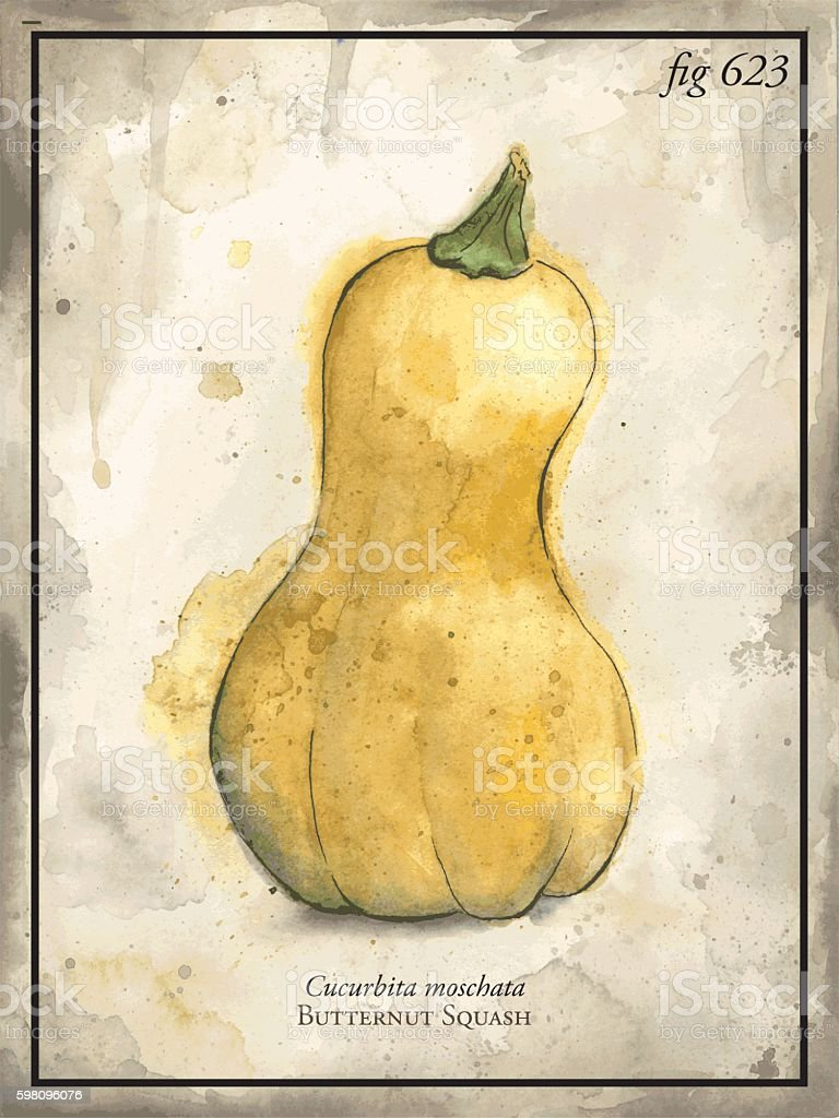 Butternut Squash Vector Engraving Illustration vector art illustration