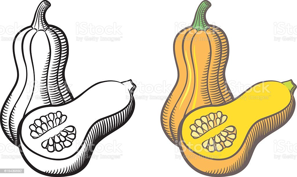 Butternut squash vector art illustration
