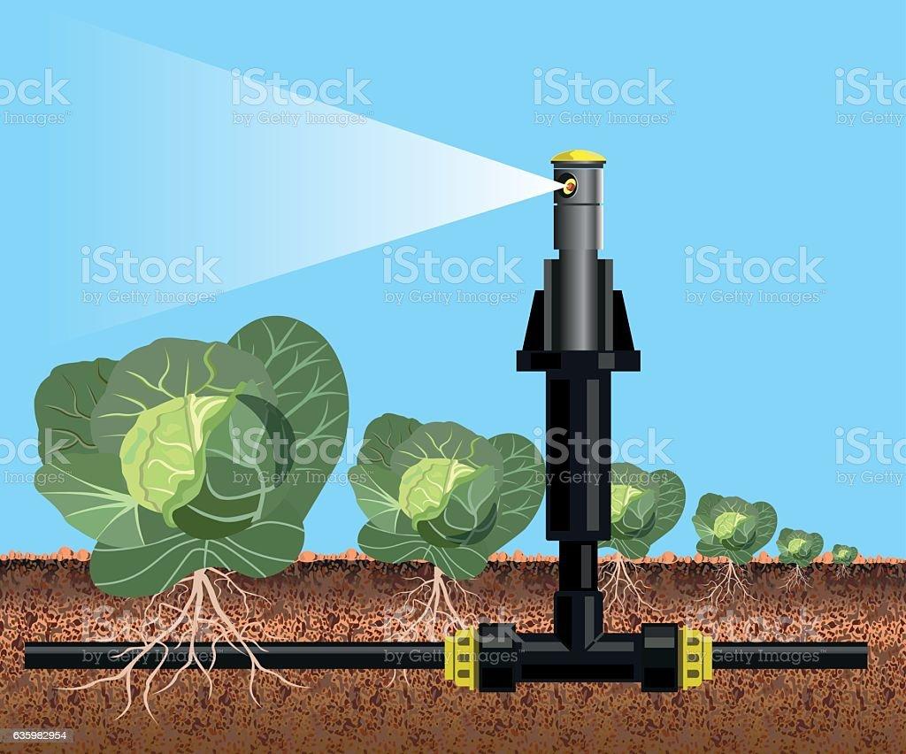 Cabbage field watering vector art illustration