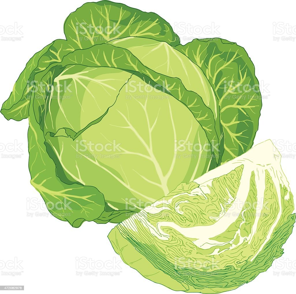 Cabbage vector art illustration