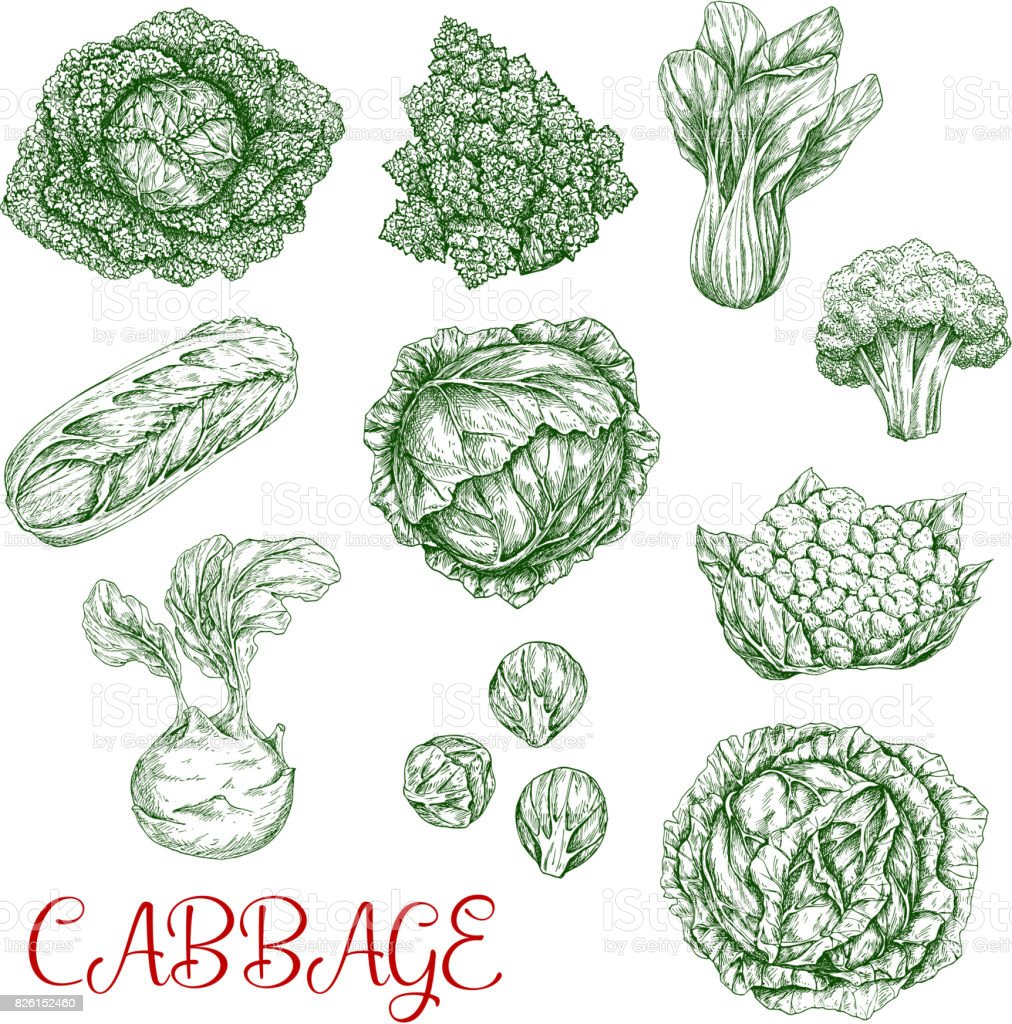 Cabbage vector sketch icons of vegetables vector art illustration