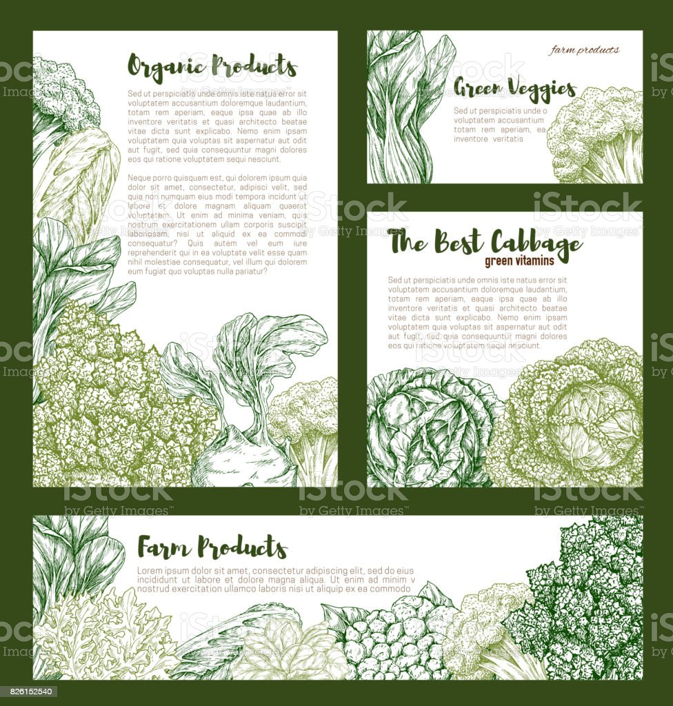 Cabbages vegetables vector templates set vector art illustration