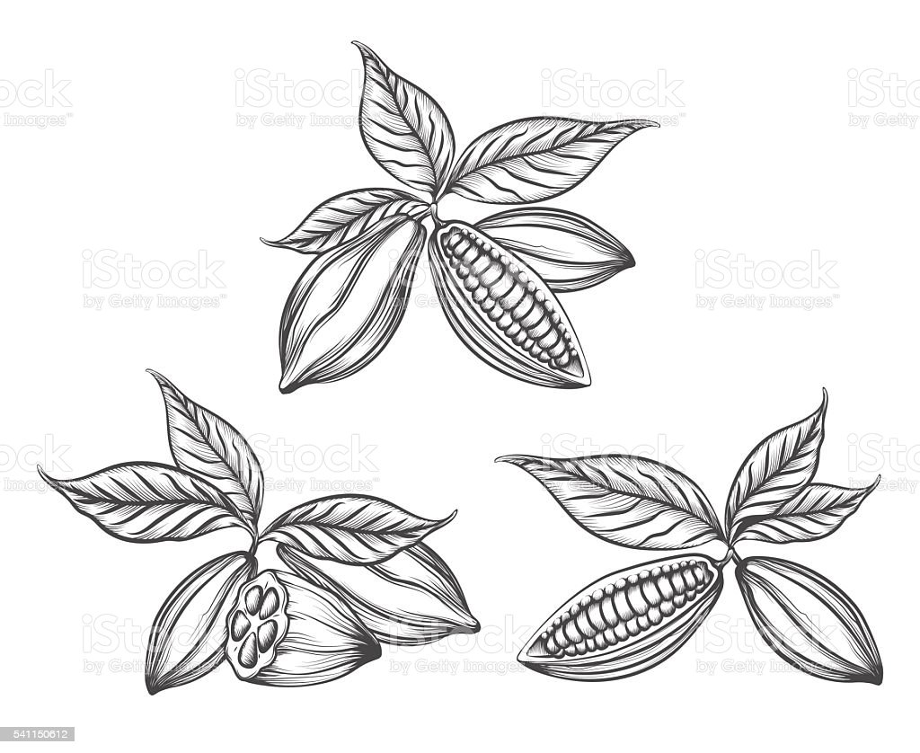 Cacao beans engraved vector art illustration