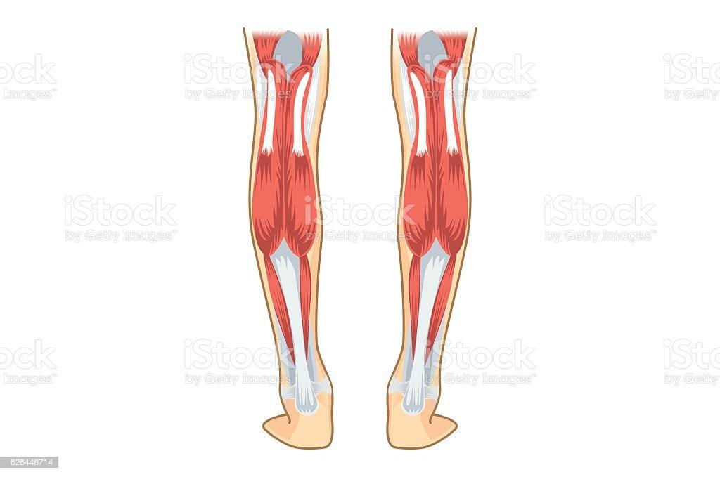 Calf Muscle of human. vector art illustration