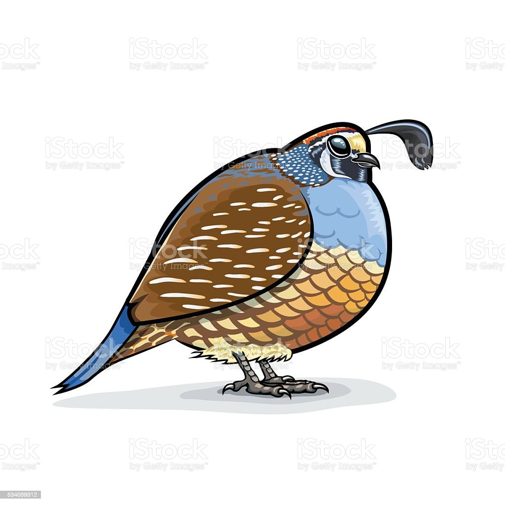 California Valley Quail Puffed Up & Standing vector art illustration