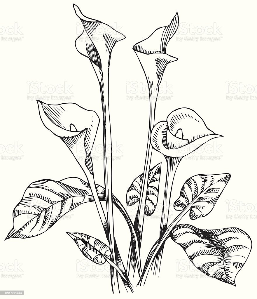 Calla Lilies in Black and White vector art illustration