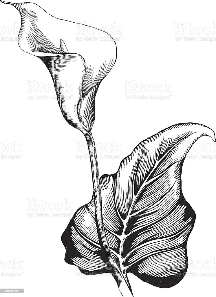 Calla Lilly vector art illustration