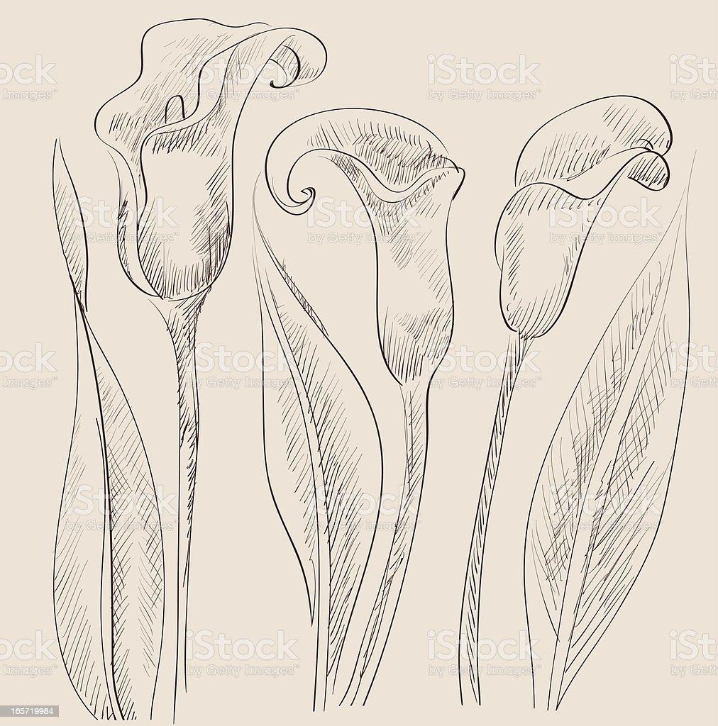 Calla lily vector art illustration