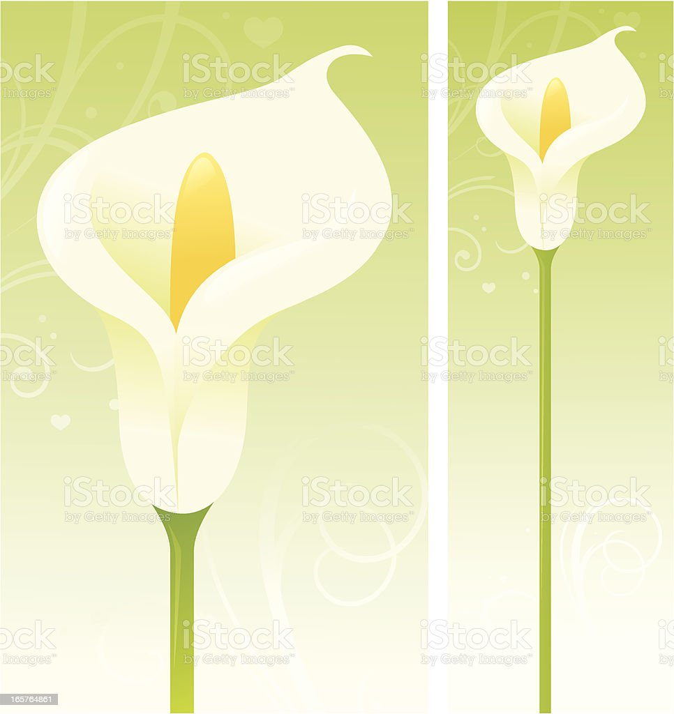Calla Lily vector art illustration