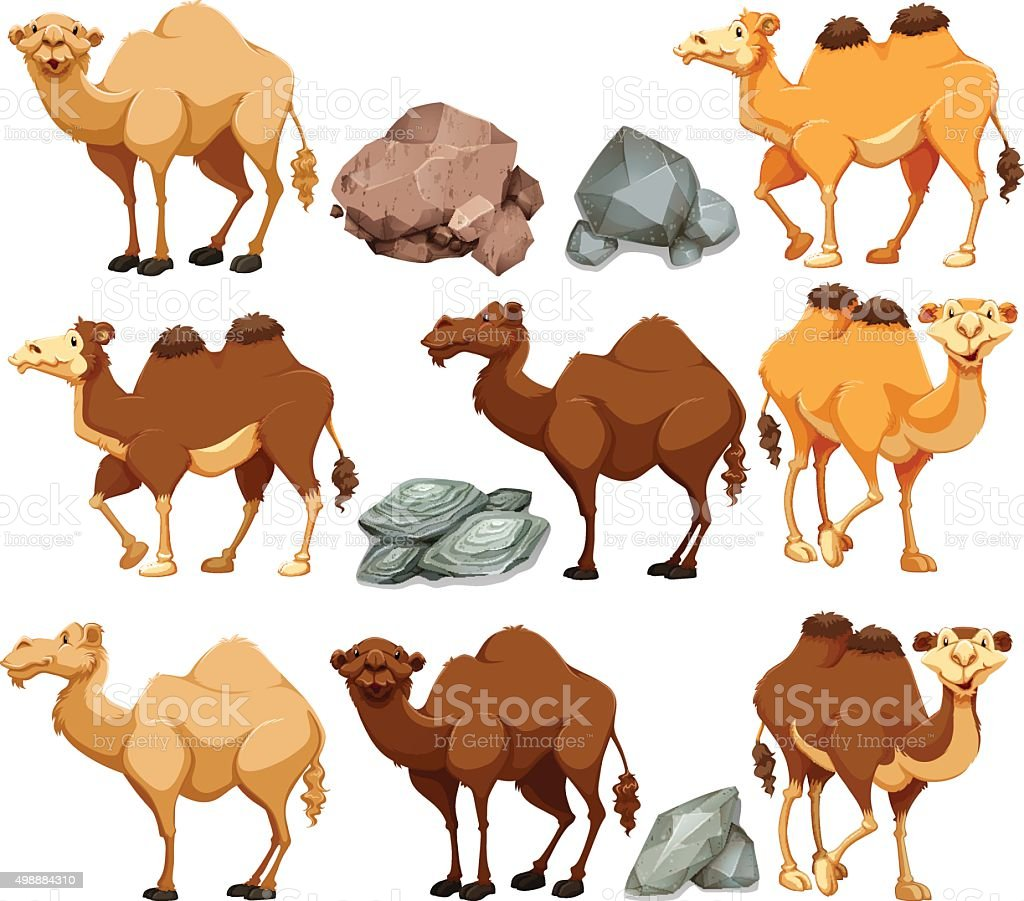 Camel  different poses vector art illustration