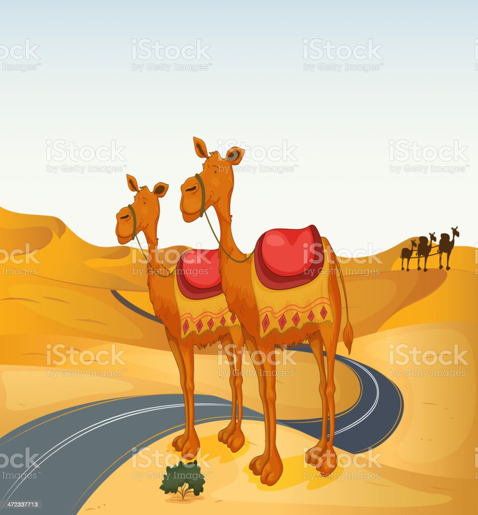 Camels royalty-free stock vector art