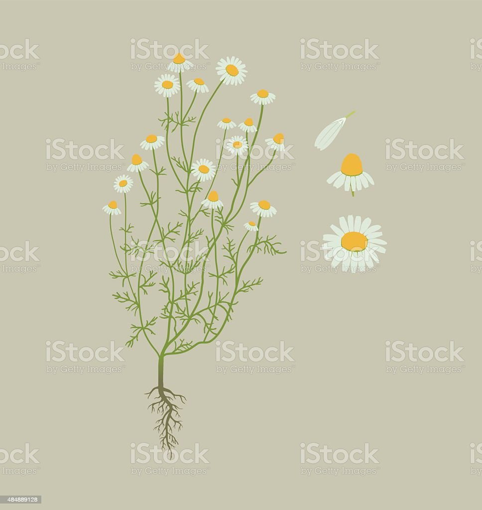 Camomile, chamomile vector art illustration
