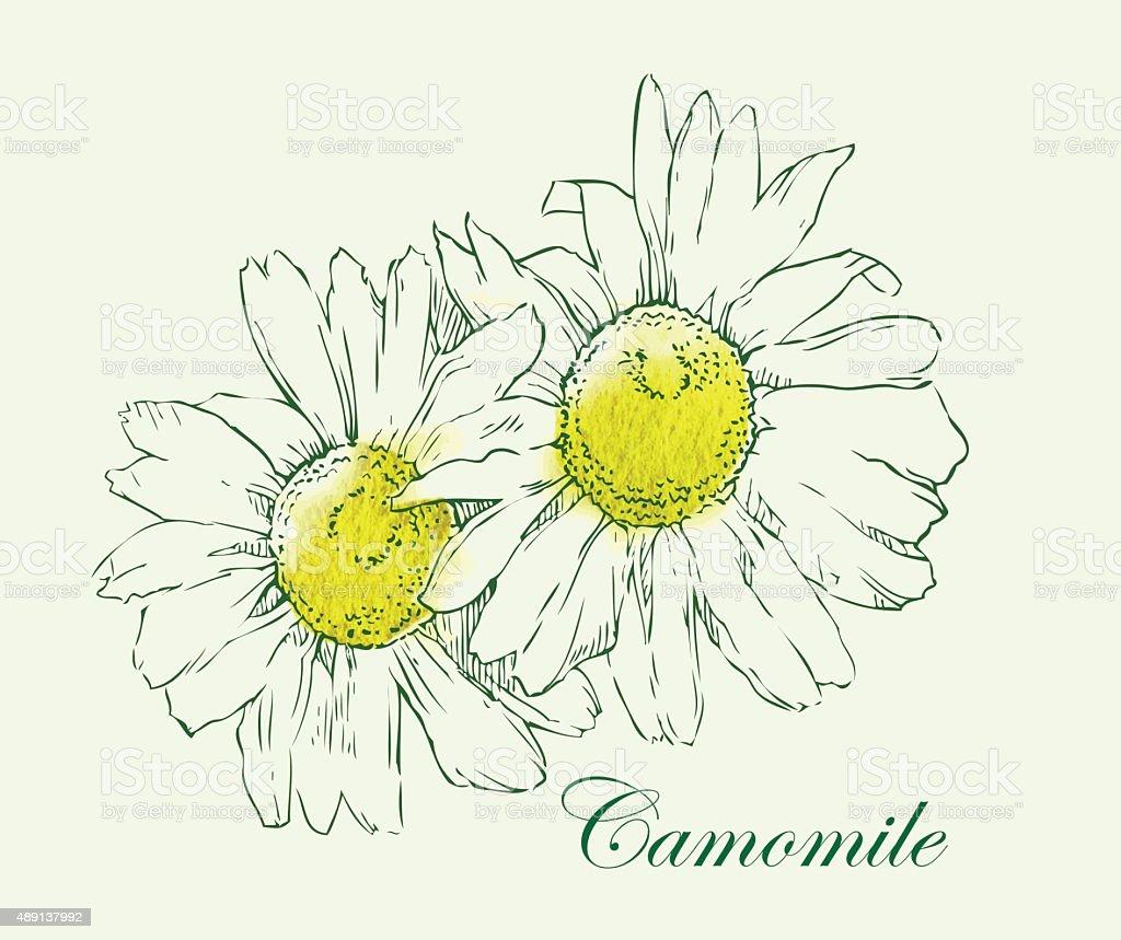 Camomile watercolor vector sketch. vector art illustration