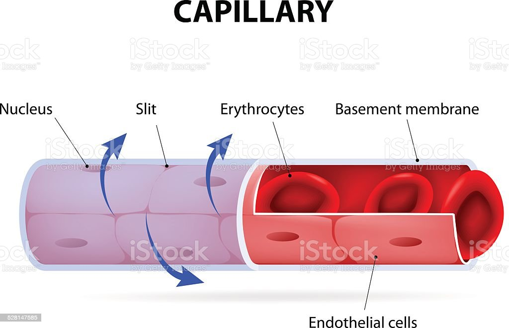 Capillary. blood vessel. labelled vector art illustration