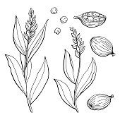 Cardamom graphic black white isolated sketch illustration vector