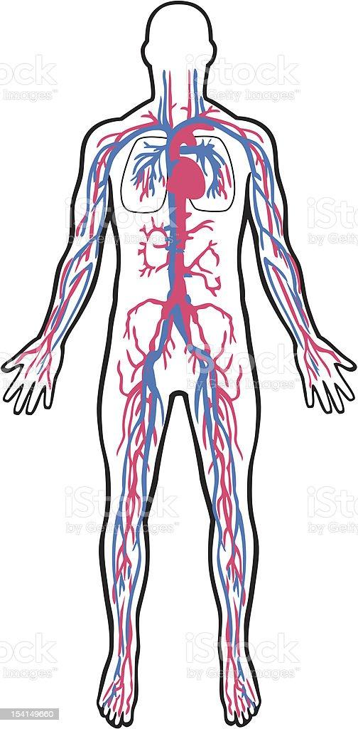 Cardiovascular system royalty-free stock vector art