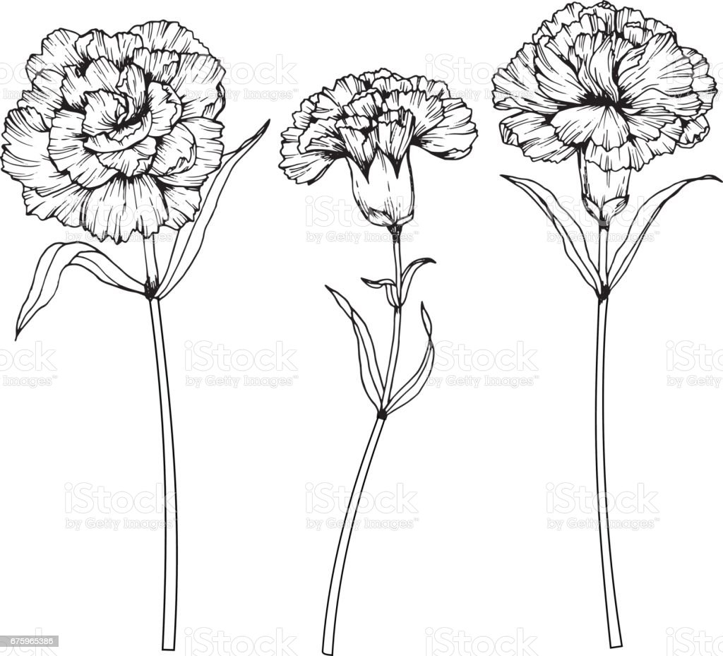 Carnation Flower Line Drawing : Carnation flowers drawing and sketch with lineart on white