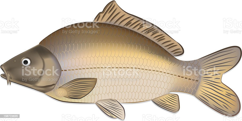 Carp fish (Cyprinus carpio) detailed vector illustration royalty-free stock vector art