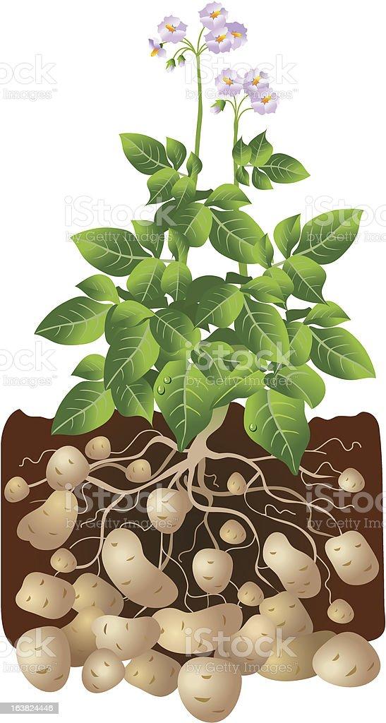 Cartoon illustration d potatoes growing underground vector art illustration