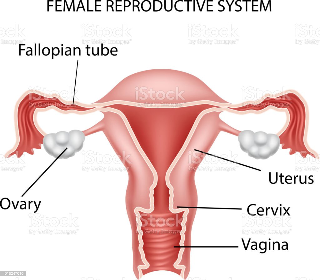 Cartoon illustration of Female reproductive system vector art illustration