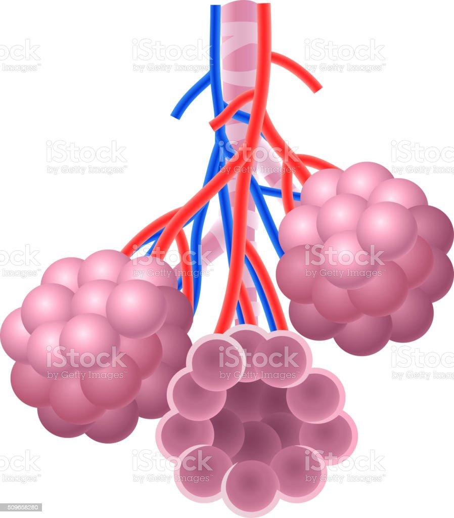 Cartoon illustration of Human Alveoli structure Anatomy vector art illustration