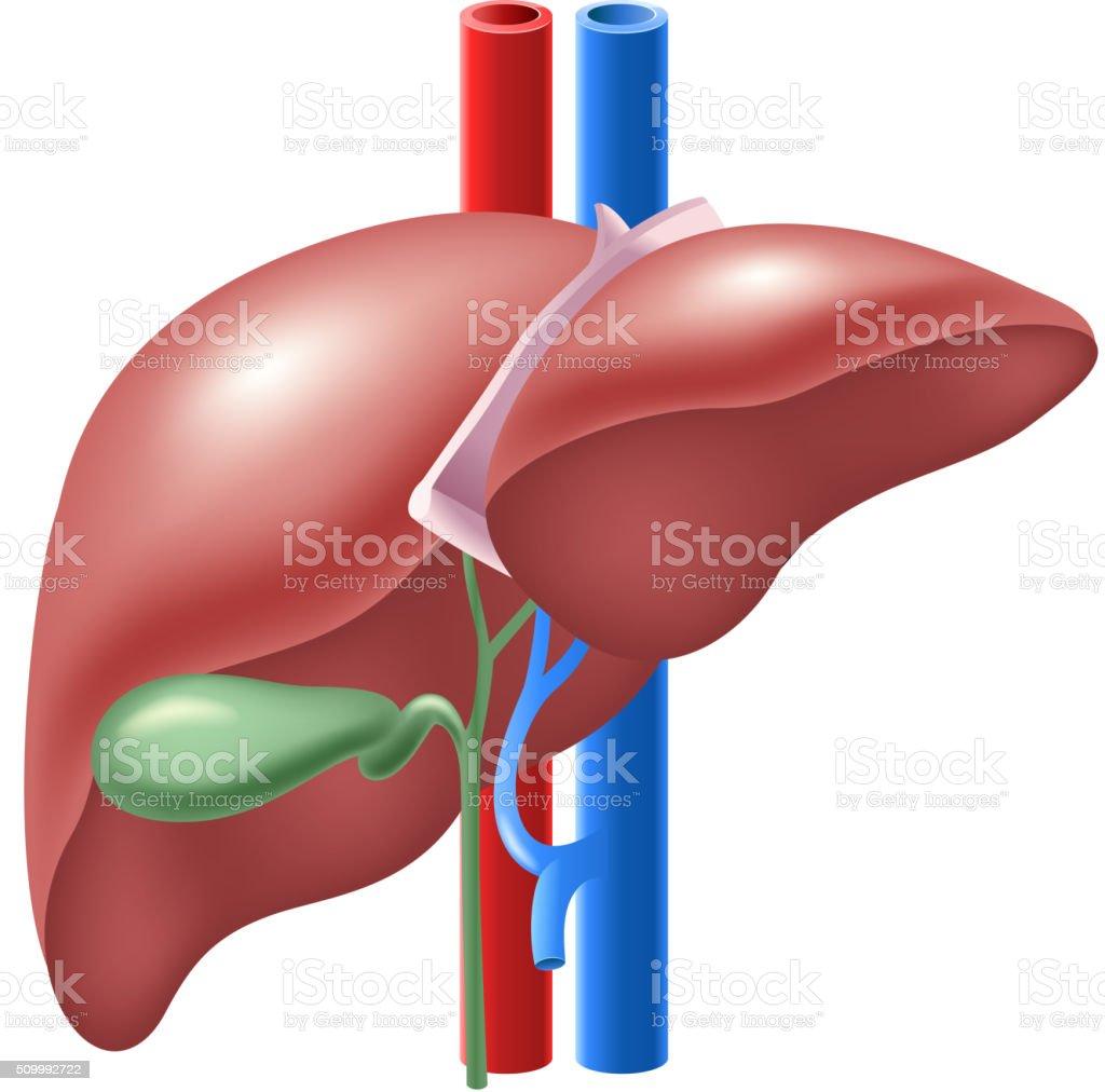 Cartoon illustration of Human Liver and Gallbladder vector art illustration