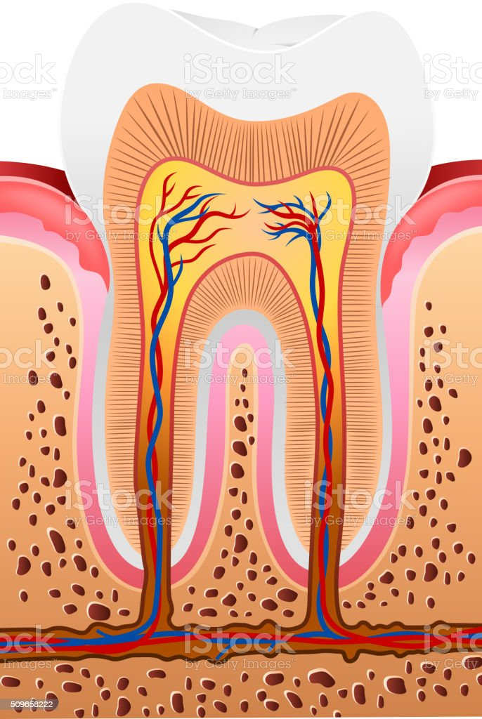 Cartoon illustration of Human Tooth Anatomy vector art illustration
