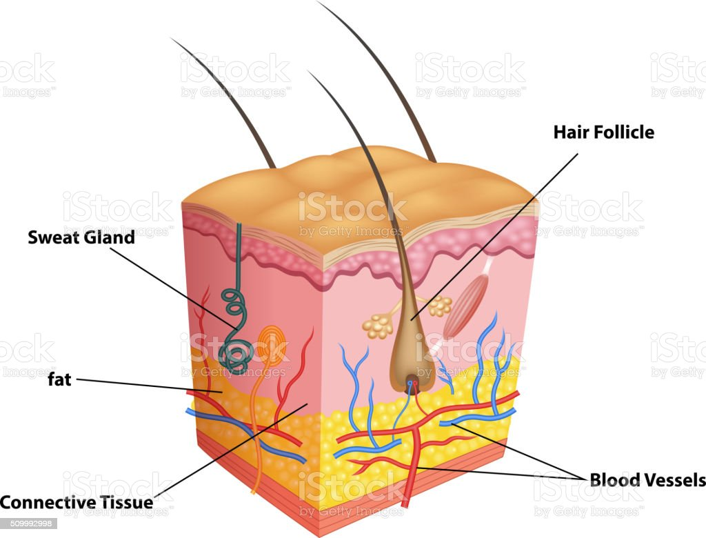Cartoon illustration of The layers of skin and pores anatomy vector art illustration