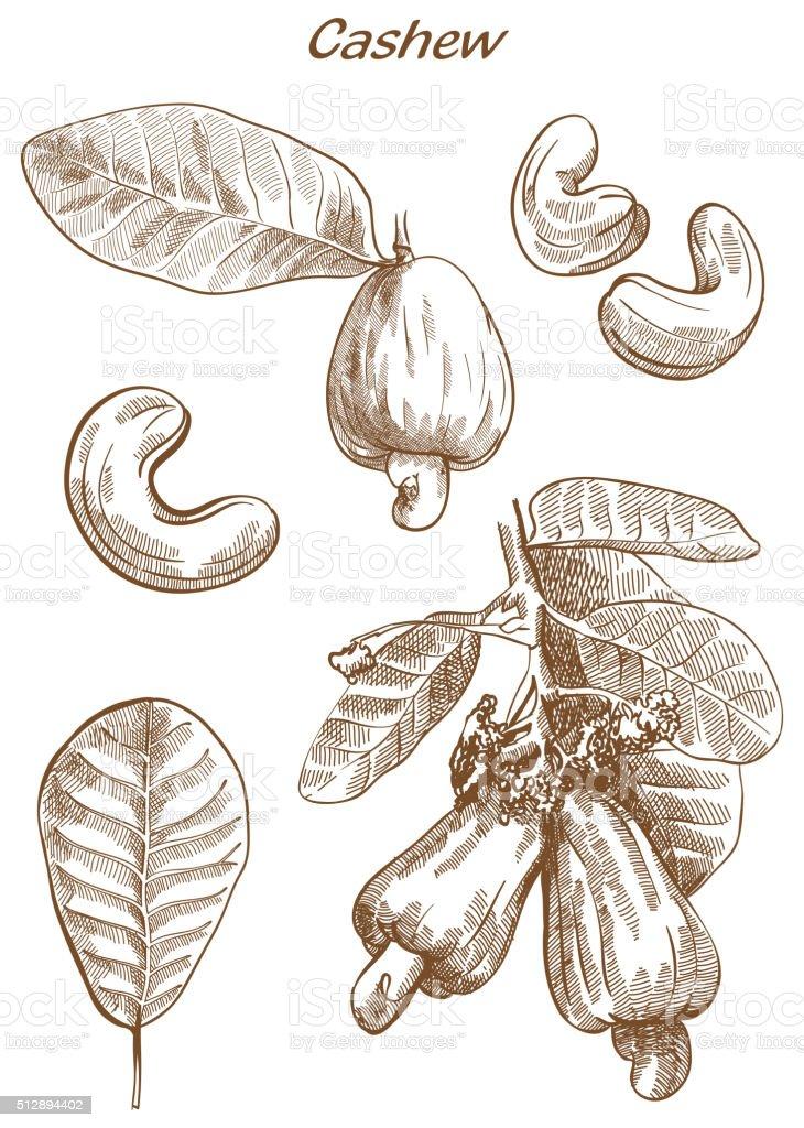 cashew set of sketches vector art illustration