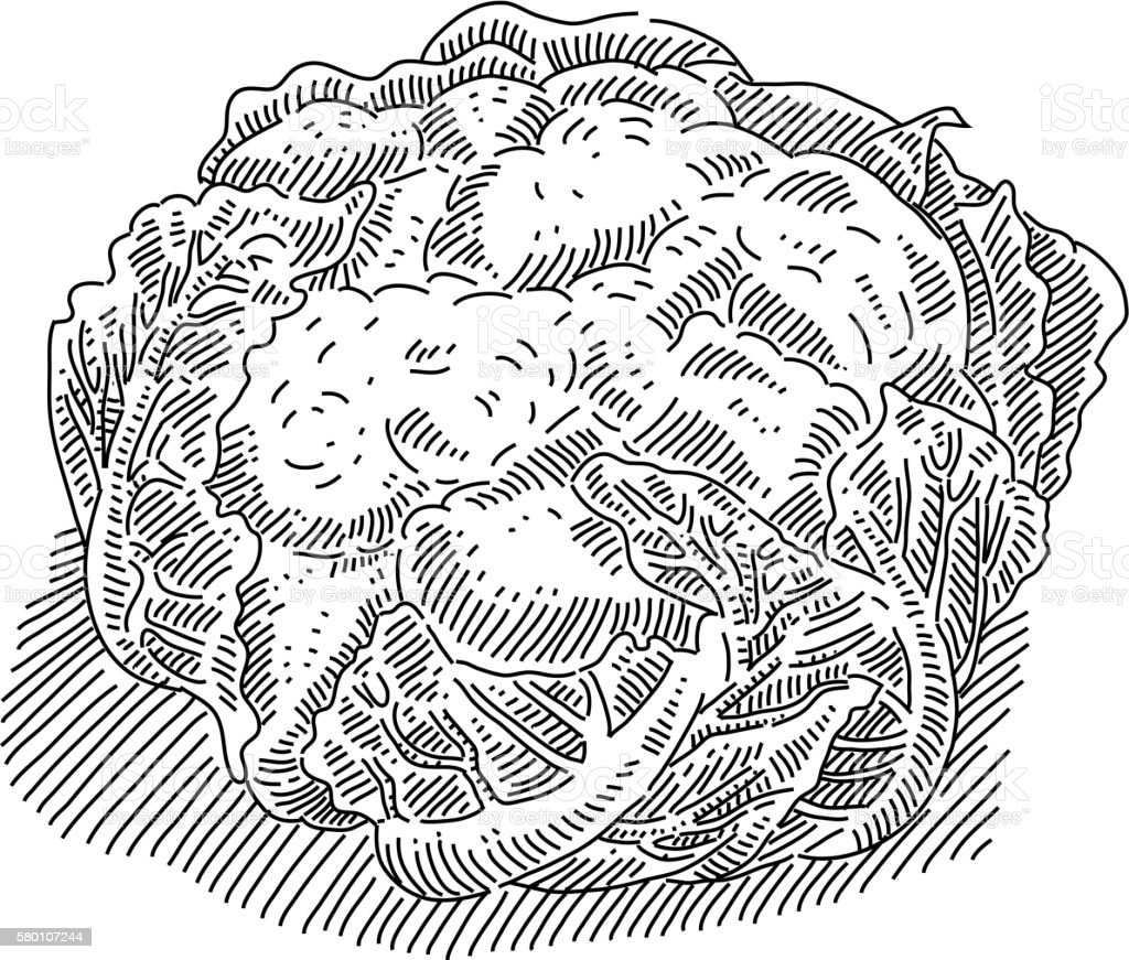 Cauliflower Drawing vector art illustration