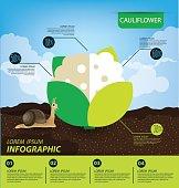 cauliflower , infographics. vegetables vector illustration
