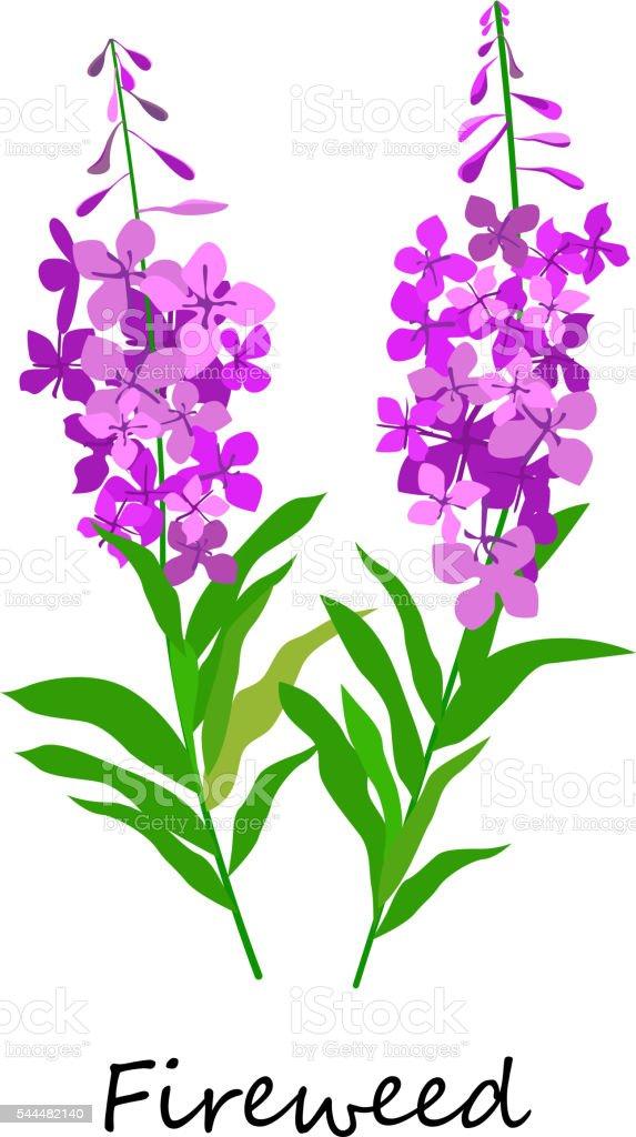 Chamaenerion. Fireweed. Wildflower. vector art illustration