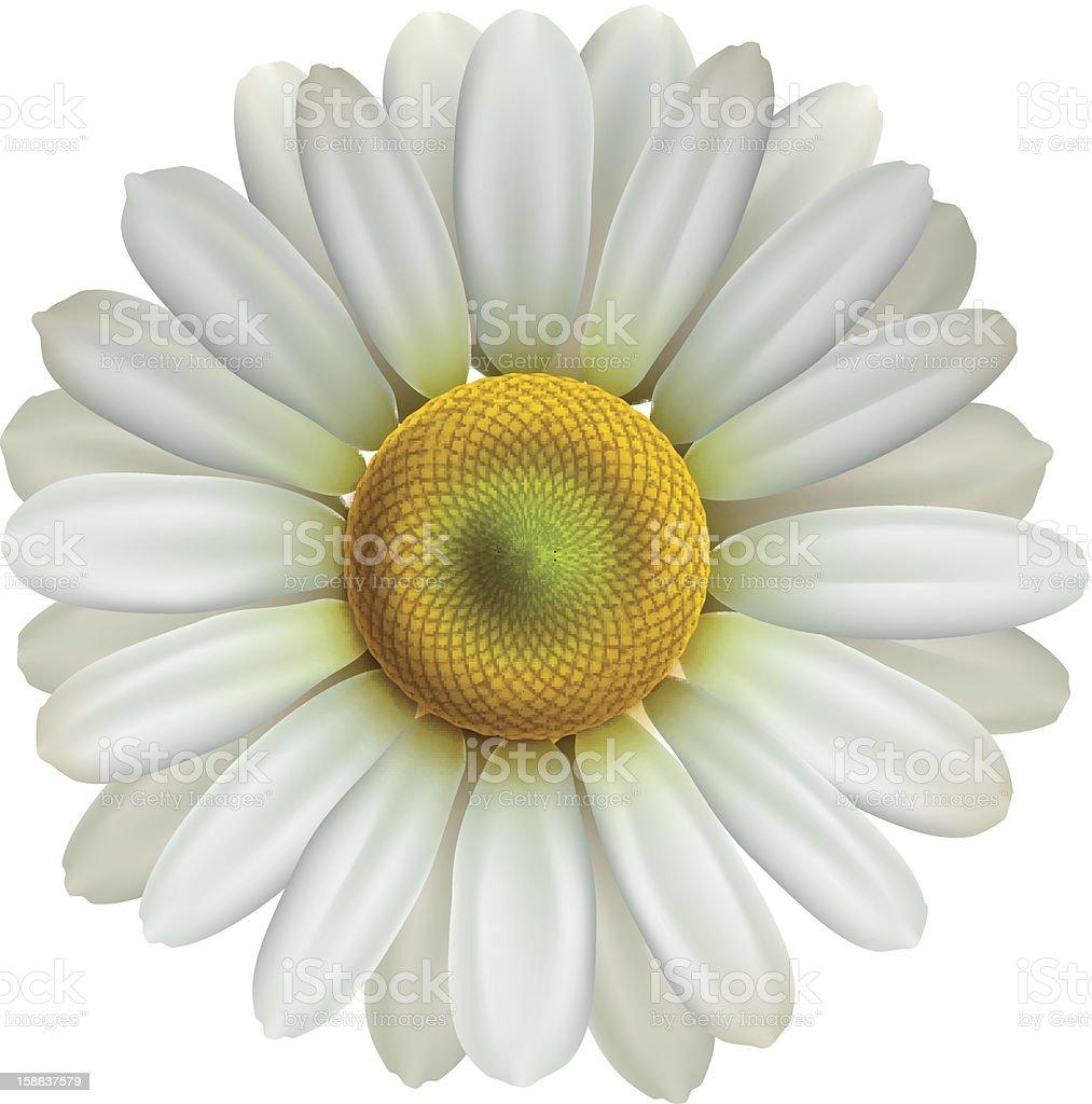 Chamomile flower isolated on white background, vector illustration. royalty-free stock vector art