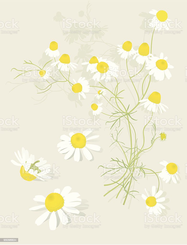 Chamomile Flowers Botanical-Design Elements royalty-free stock vector art