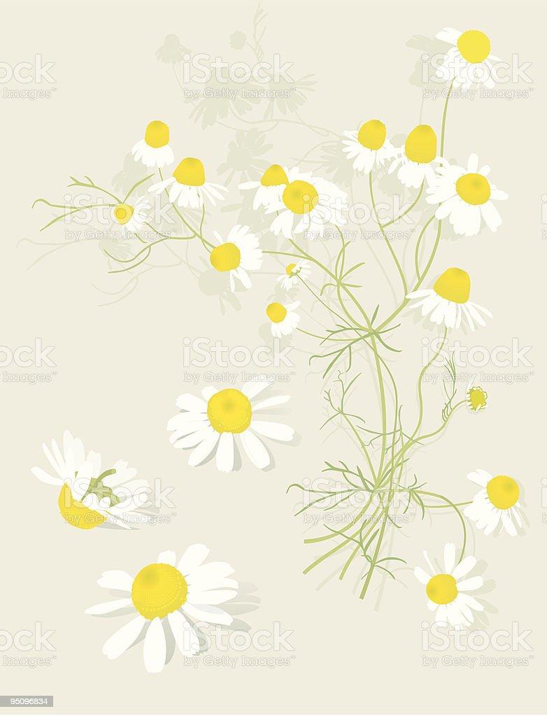 Chamomile Flowers Botanical-Design Elements vector art illustration