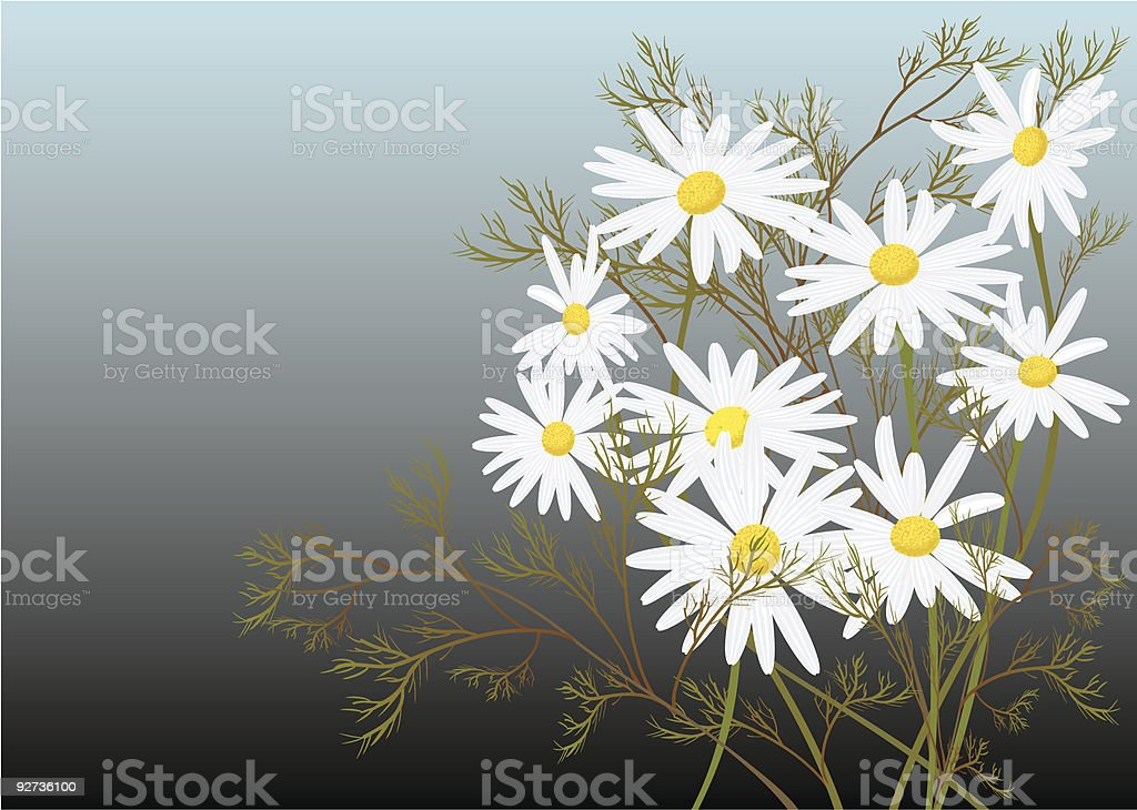 chamomile royalty-free stock vector art