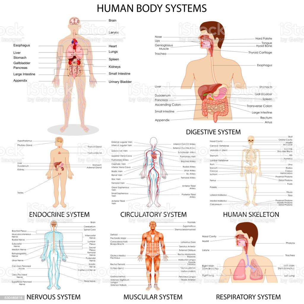 Chart of different Human Organ System vector art illustration
