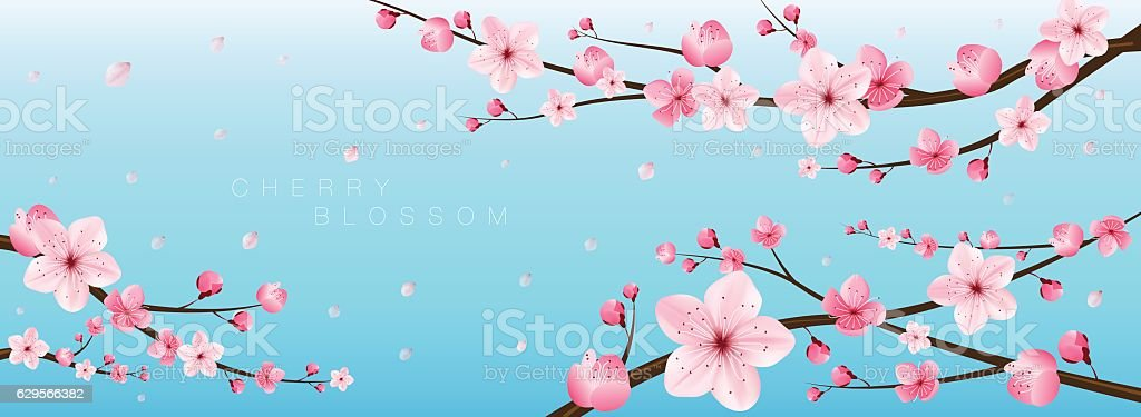 cherry blossom realistic vector, sakura, japan vector art illustration