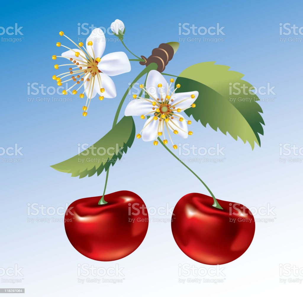 Cherry. The fruit and flowers. royalty-free stock vector art